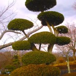 Japanese giant bonsai tree